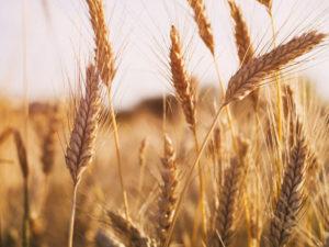 Изображение №1 - В 2020 году в России ожидается высокий урожай зерновых - Элтемикс Агро