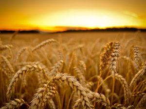 Изображение №1 - С сентября 2020 года в силу вступают новые ГОСТы на зерно - Элтемикс Агро