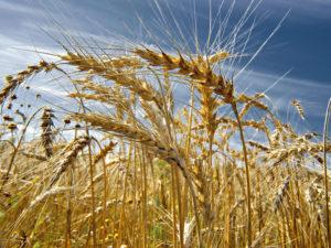 Изображение №1 - Клейковина в пшенице: что изменилось за 120 лет выращивания? - Элтемикс Агро