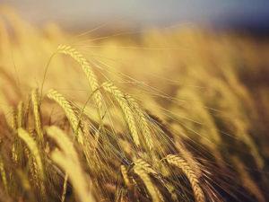Изображение №1 - Воронежская область поставила рекорд по сбору урожая зерна - Элтемикс Агро