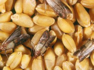 Изображение №1 - Топ 7 советов по защите зерна от амбарных вредителей и грызунов - Элтемикс Агро