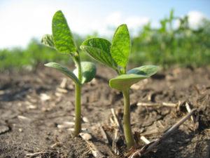 Изображение №1 - Российские ученые запатентовали высокоэффективный способ повышения урожайности сои - Элтемикс Агро